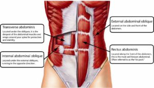 The abdominal muscle